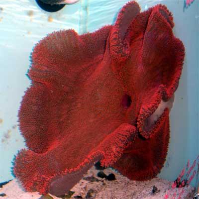 Red Carpet Anemone