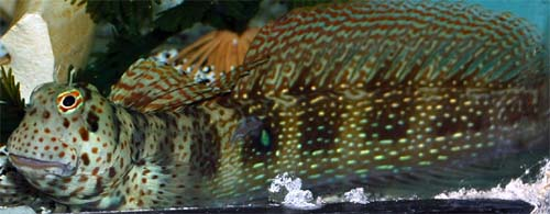 Red Spot Blenny - Large