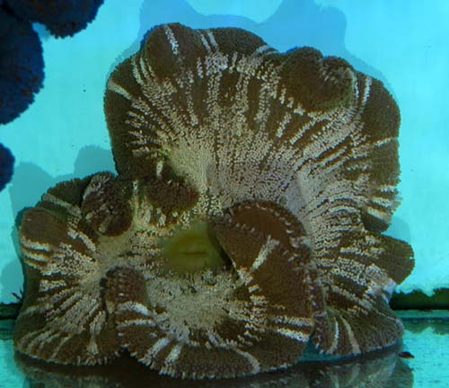Saddled Carpet Anemone - Large
