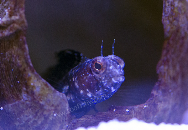 Atlantic Sailfin Blenny