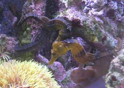 Seahorse Hippocampus reidi - Captive bred