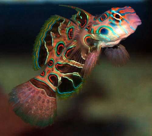 Spotted Mandarin Dragonet