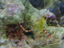 Gold Coral Banded Shrimp