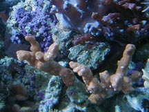 Montipora - finger formation