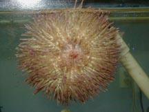 Pacific Pincushion Urchin