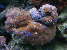 Porites w/ X-mas Tree Worms