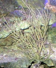 Yellow Ribbon Gorgonian