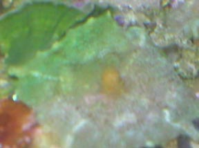 Florida Green Mushroom Polyp