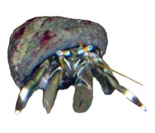 Zebra Hermit Crab - Each