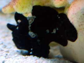 Black Frogfish
