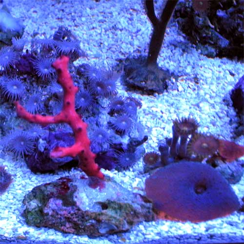 Assorted Coral Frags - Medium