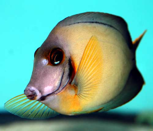 Chocolate Tang, Adult