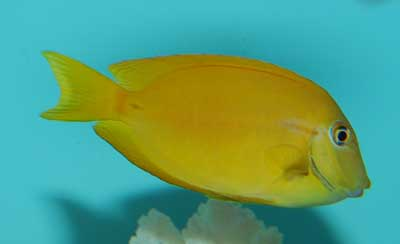 Orange Shoulder Tang - Juvenile
