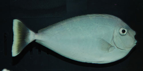 Unicorn Tang (Small)