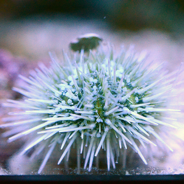 Caribbean Pincushion Urchin, Small
