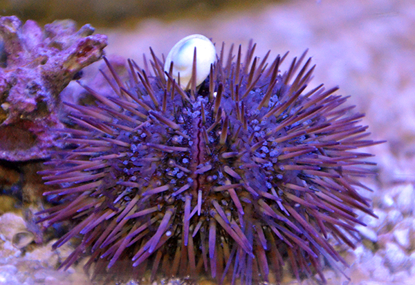 Purple & Pink Pincushion Urchin, Mini