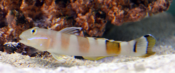 Ward's Sleeper Goby