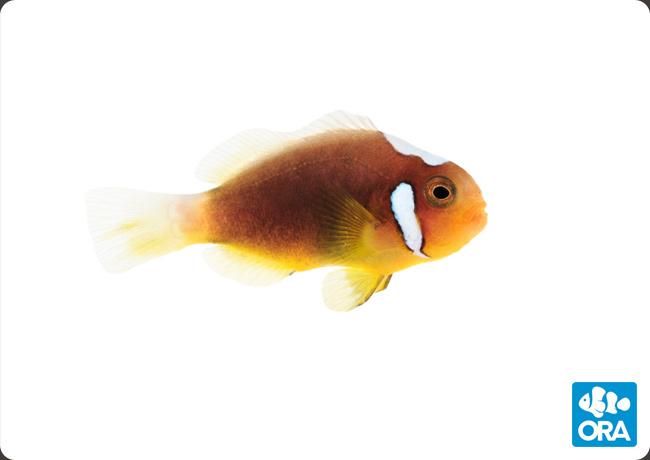 ORA White Bonnet Clownfish, Grade A