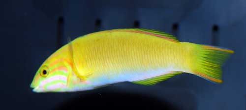 Sunset Wrasse - Juvenile