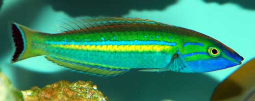 Smalltail Wrasse (Male)