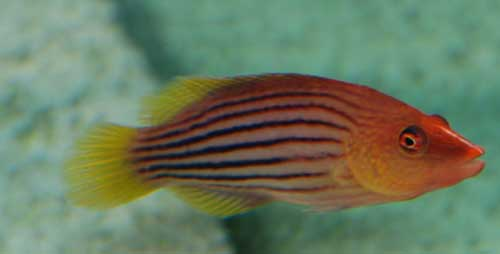 Eightline Wrasse