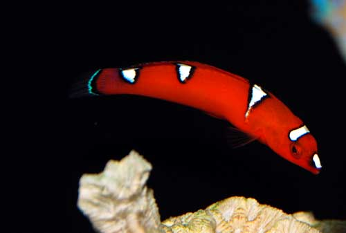 Red Coris Wrasse - Juvenile
