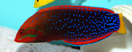 Red Coris Wrasse - XL Adult