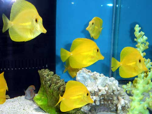 Hawaiian Yellow Tang, Small