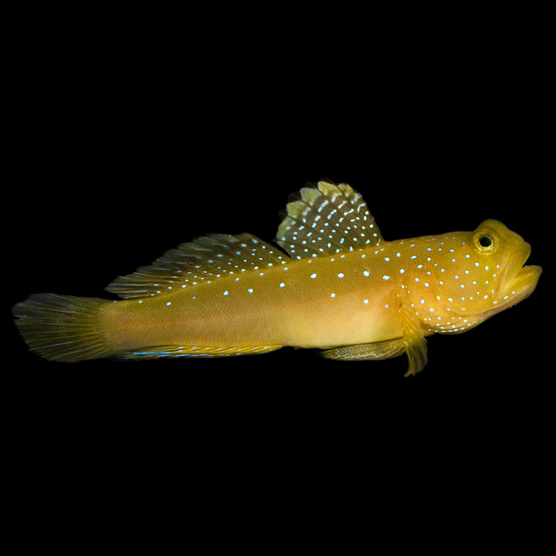 ORA Yellow Watchman Goby