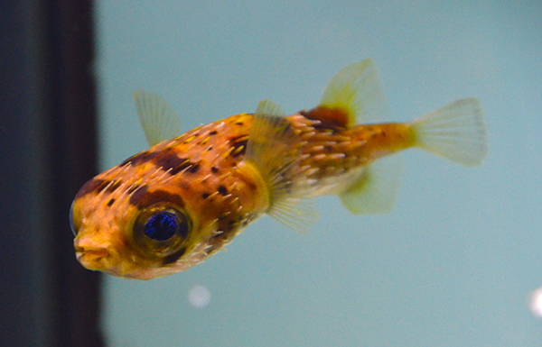 Spiny Box Puffer, Large