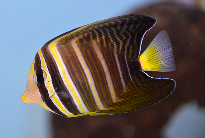 Sailfin Tang, Medium