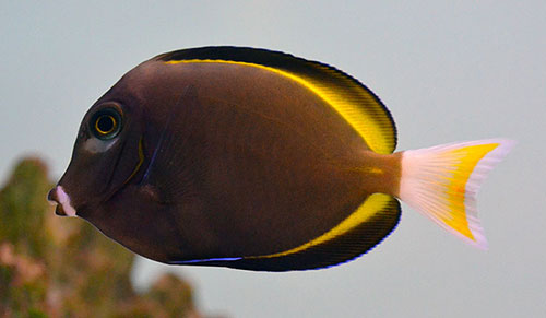 Powder Grey Gold Rim Tang