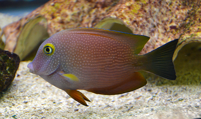 Spotted Yellow-Eye Bristletooth Tang, Medium