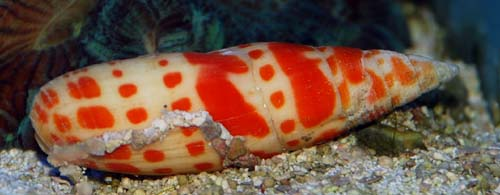 Orange Spotted Sand Snail