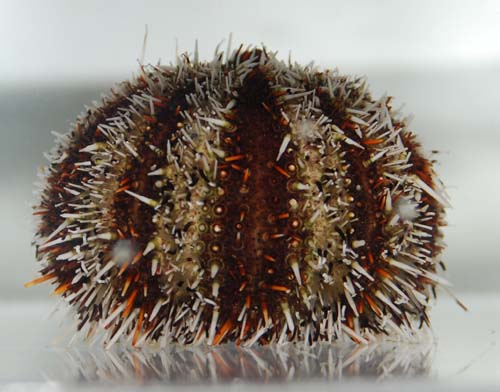 Pacific Red Pincushion Urchin