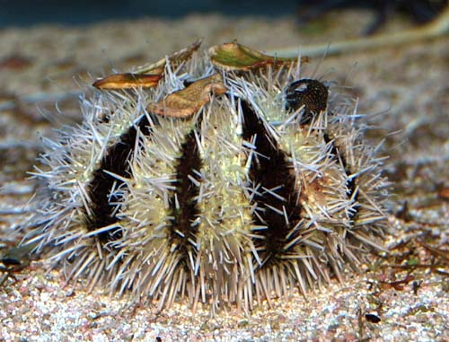 Pacific White Pincushion Urchin